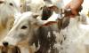 O produtor que deixar de vacinar o rebanho poderá ser multado em R$ 5,32 por animal e R$ 127,69 por propriedade não declarada