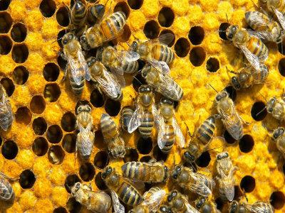 abelhas e favos