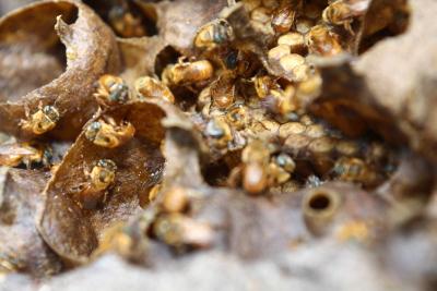 Favos  e abelhas