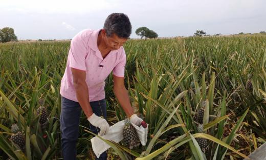 Agricultor José Ferreira da Silva, produtor de abacaxi, é assistido por técnicos do Ruraltins