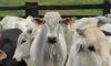 Multa para quem deixar de vacinar os bovídeos é de R$ 5,32 por animal e R$ 127,69 por propriedade não declarada