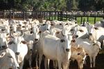 Alíquota de 4% aumenta venda de gado