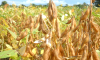 Medida visa o controle da ferrugem asiática na cultura da oleaginosa; no Estado, as condições fitossanitárias das lavouras estão controladas