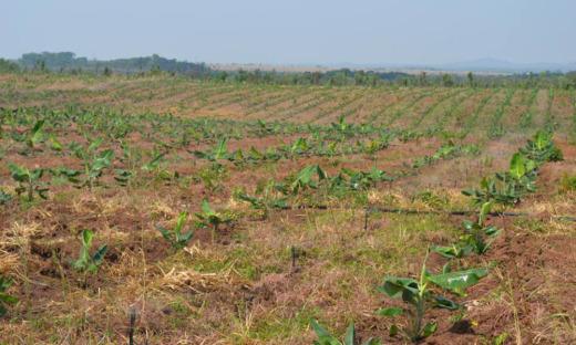 O projeto Manuel Alves é dividido em 199 lotes para pequenos produtores e 14 lotes empresariais, que estão sendo explorados com fruticultura, por meio de métodos modernos de irrigação