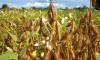 Sojicultores têm até o dia 6 de fevereiro para o cadastramento das lavouras de soja