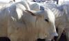 De acordo com os dados da Adapec, 335.779 bovídeas entre 3 e 8 meses de idade receberam a dose vacina