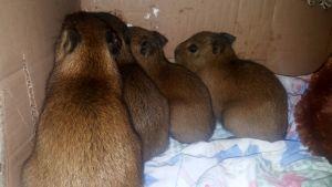Filhotes de capivaras são encaminhados pela PM ao Centro de Triagem de Animais Silvestres_300.jpg