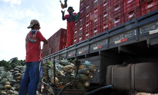 Na safra passada, 2015/2016, foram colhidas 56.850 toneladas do fruto; na safra 2016/2017, essa produção subiu para 64 mil toneladas