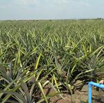 A colheita do abacaxi irrigado foi iniciada em novembro e vai até o final deste mês