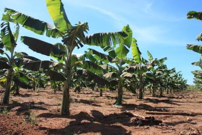 """O """"Seminário da Banana: boas práticas agrícolas na produção integrada de banana"""" será realizado em duas etapas, discussão temática e visita em área de cultivo"""