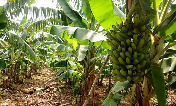Seminário de boas práticas agrícolas na produção integrada de banana será realizado em duas etapas, discussão temática e visita em área de cultivo