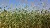 Sorgo biomassa, com aproveitamento da planta inteira na produção de energia