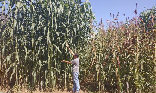 O sorgo biomassa, que pode atingir até seis metros de altura, oferece o aproveitamento da planta inteira na produção de energia