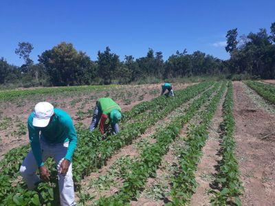 O plantio das oleaginosas na Unidade Demonstra é cultivado no sistema consorciado e ou cultivo solteiro tanto para a macaúba quanto para as demais oleaginosas
