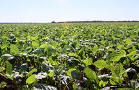 A produção abastece o mercado interno e alguns estados como Mato Grosso, Bahia, Maranhão e outros