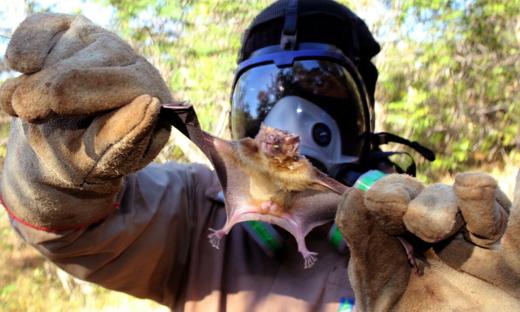 Equipes realizam controle populacional de morcegos hematófagos, que se alimenta de sangue e é considerado o maior transmissor da raiva na zona rural