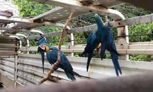 Centro de Fauna do Naturatins realiza primeira soltura de araras