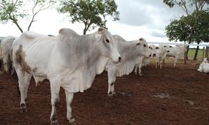 Após a vacinação, o produtor tem até 10 dias para fazer a declaração em qualquer uma das 139 unidades da Adapec