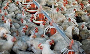 Estabelecimento conta com oito galpões, destes, quatro com capacidade de alojar 70 mil aves cada