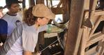 Agricultura inicia inseminações em 1.500 vacas leiteiras