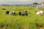 O Tocantins conta hoje com aproximadamente 150 mil animais, entre ovinos e caprinos.