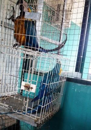 Três araras canindé também foram enviadas da Regional de Gurupi ao Cefau