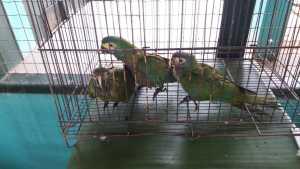 As aves ficaram em observação médica e somente depois foram enviadas ao Cefau em Palmas