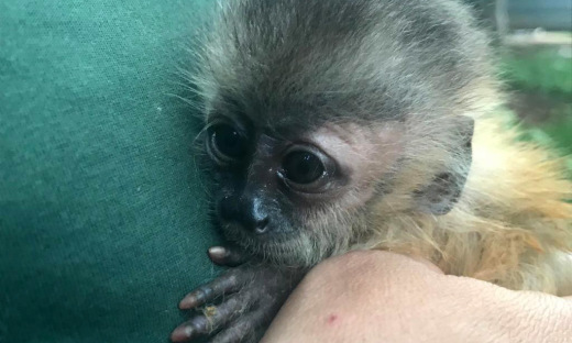 Nesta quinta-feira, 10, completa um mês, que um bebê da  espécie Macaco prego foi entregue aos cuidados do Centro de Fauna