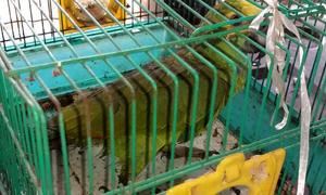 A equipe da Guarda Metropolitana de Palmas contabilizou cerca de 50 animais durante a apreensão realizada