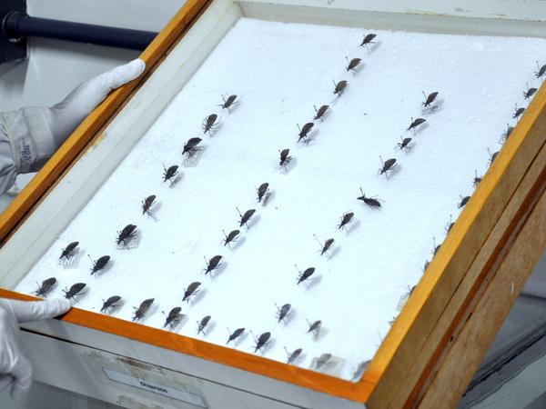A doença de Chagas é uma condição infecciosa aguda e crônica causada pelo protozoário Trypanosoma cruzi