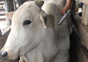Close vacinação Aftosa _300.jpg
