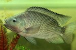 A Tilápia é a espécie de peixe mais produzido no Brasil
