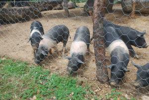 Adapec realiza monitoramento de granjas de suínos no Tocantins