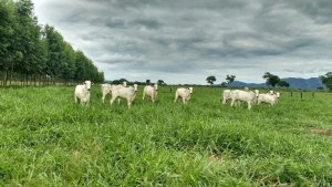 Dia de Campo sobre bovinocultura mostrará as práticas de produção aplicadas no Plano de Agricultura de Baixa Emissão de Carbono
