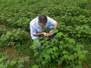 """Tocantins regulamenta o controle da praga """"bicudo do algodoeiro"""""""