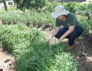 Alho de folha é um exemplo de planta alimentícia não convencional