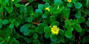 Beldroega é considera planta alimentícia não convencional