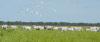 Sistemas de plantio Integração Lavoura Pecuária Florestas -  ILPF