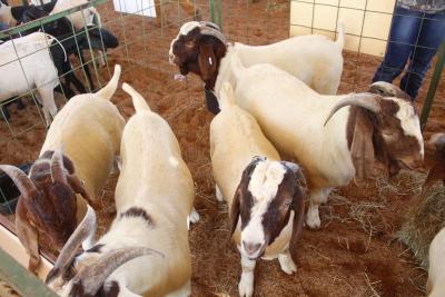 As raças de ovinos criadas no Tocantins já garantem condições de expansão do setor.