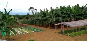 Sistema de irrigação implantado na localidade, mostra o resultado das variedades de bananas resistentes as principais doenças, como a Sigatoka Negra