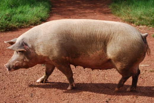 Tocantins é reconhecido pela Organização Mundial de Saúde Animal (OIE) livre  da peste suína clássica