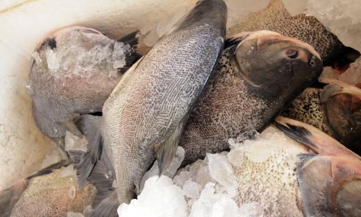 Mercado da piscicultura está em franca expansão no Tocantins