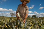 região central do Tocantins é a maior produtora de abacaxi