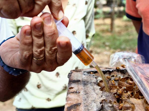 A criação de abelhas sem ferrão é prazerosa sendo também lucrativa; um enxame chega ao mercado consumidor valendo até R$ 800