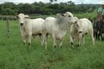 : Tocantins já conta com criação bovina de alto padrão genético