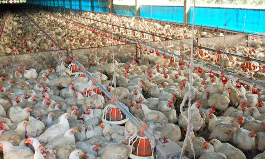 Cadeia produtiva de frango discutirá defesa sanitária das aves e o aprimoramento das atividades desenvolvidas