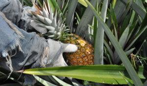 Produtor de abacaxi é autuado por uso de agrotóxico proibido para a cultura