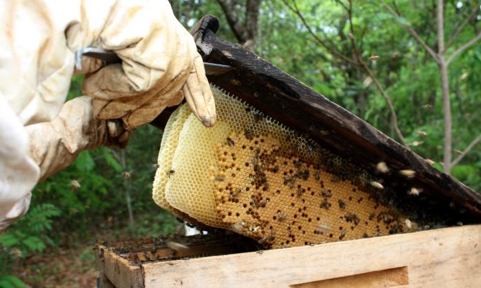 Tocantins apresenta grande potencial na produção de mel
