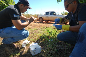 Adapec realiza monitoramento da mosca da carambola no projeto de fruticultura São João