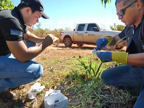 Técnicos da Adapec monitoram armadilha da mosca da carambola no Projeto São João